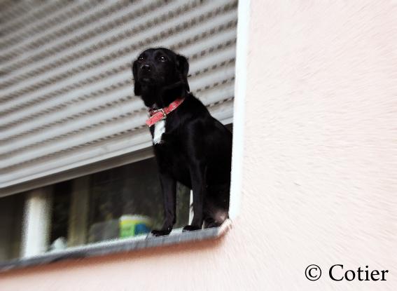 fenterhund_cotier